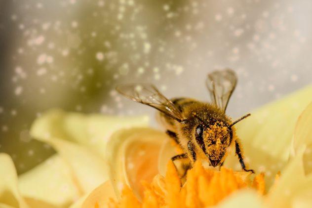 Biene produziert Manuka Honig