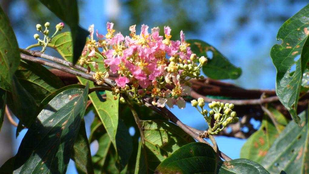AYAHUASCA Pflanze Peru