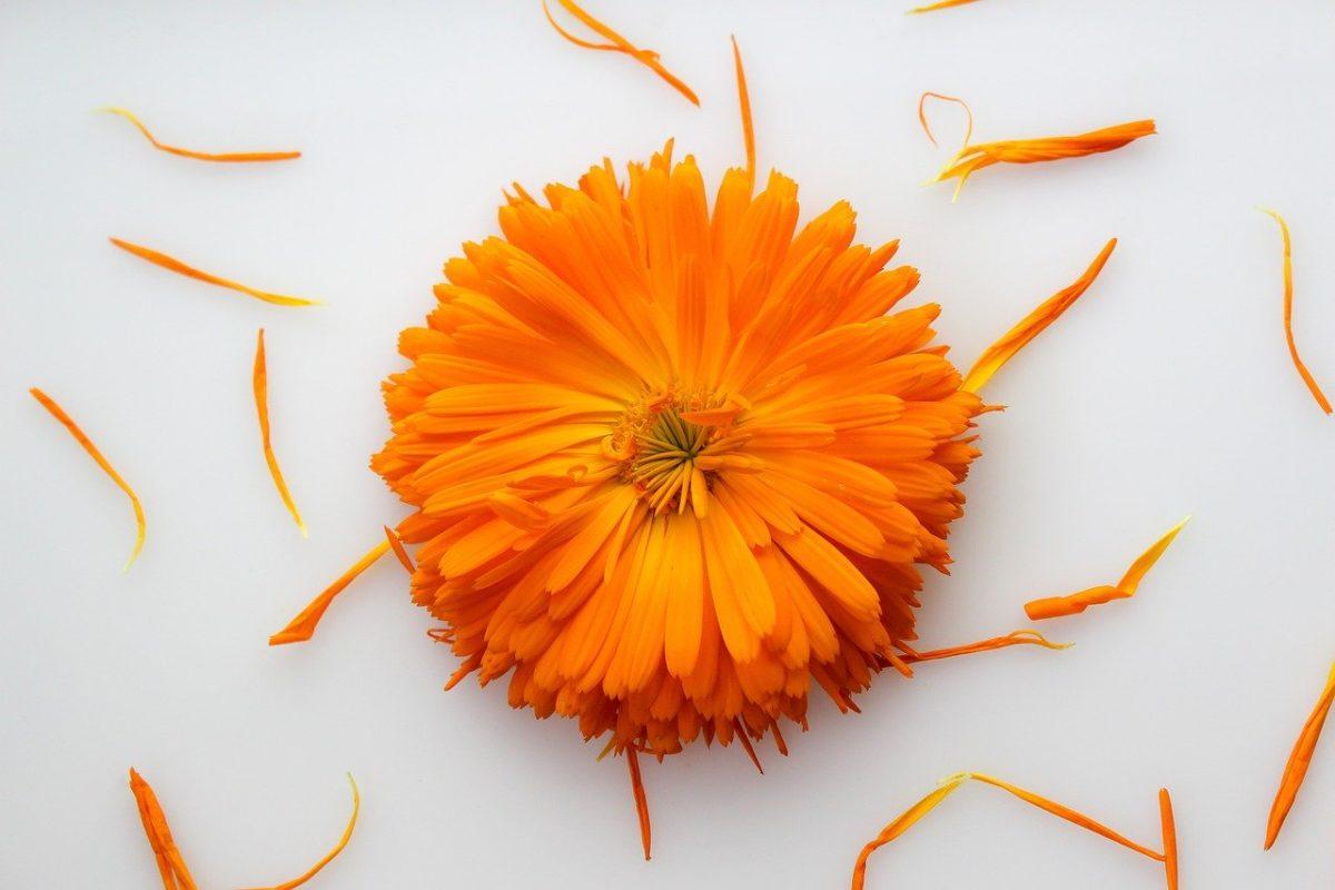 Heilpflanze Calendula